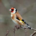 Goldfinch_x