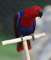 170px-Eclectus_Parrot_(Eclectus_roratus)_-6-4c.jpg