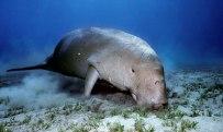 dugong-image.jpg