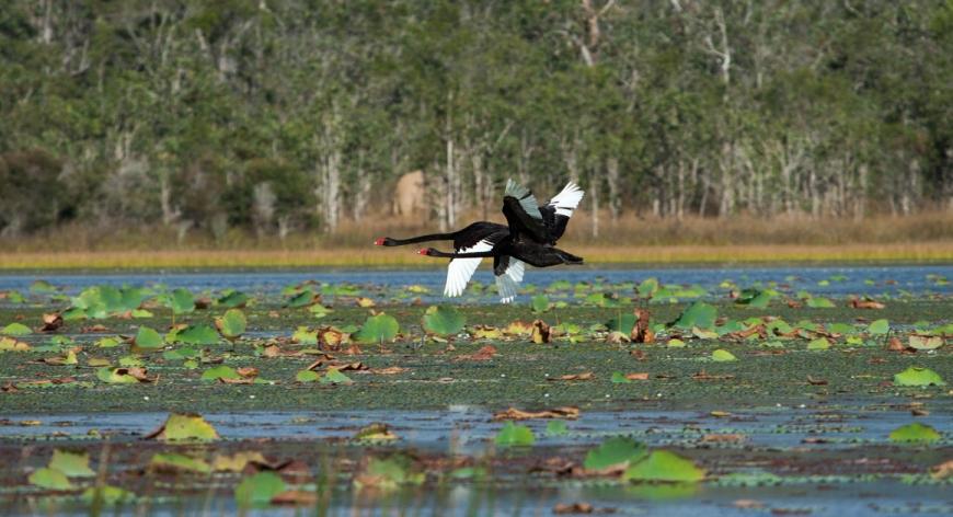 Fiona_Harper_Image_82052-black-swan.jpg